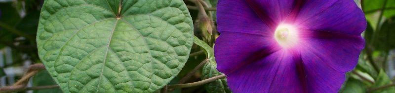 imporea purpurea